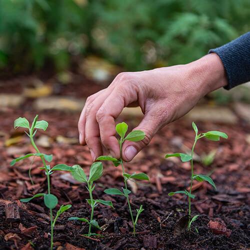How to grow sweet peas | Blog | Stodels Garden Centre