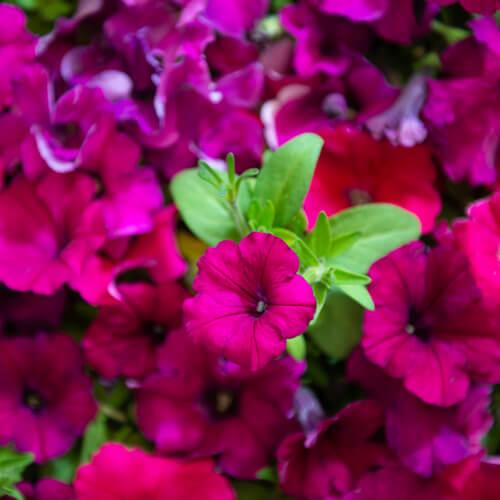 Winter Flowering Plants Stodels Nursery