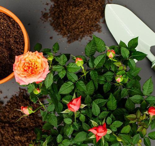 Plant a scented garden for summer | Stodels Garden Centre