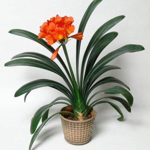 The keys to Happy Clivia