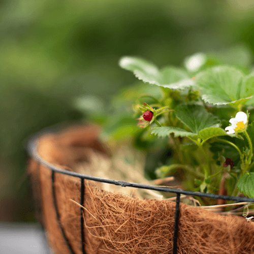 Grow your own strawberries | Stodels Garden Centre
