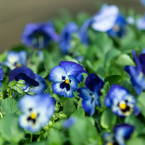 Pansy care guide