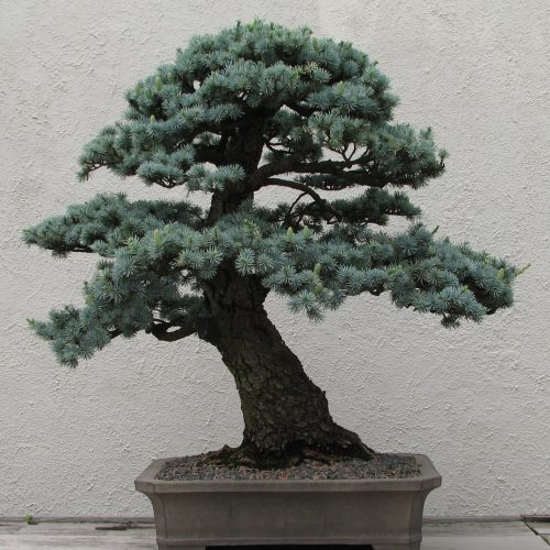 Indoor Plants : Caring for Bonsai