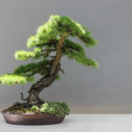 Growing Bonsai in Containers