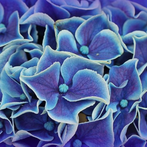 How to Choose the Right Hydrangeas for your Garden