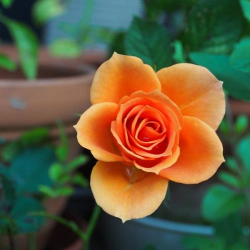 Growing your Roses