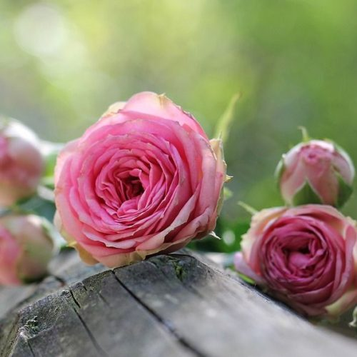 Video: How to Prune your Roses