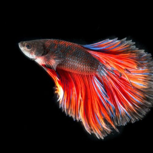 Siamese Fighting Fish Names | Keeping Siamese Fighting Fish Stodels Garden Centresstodels Garden