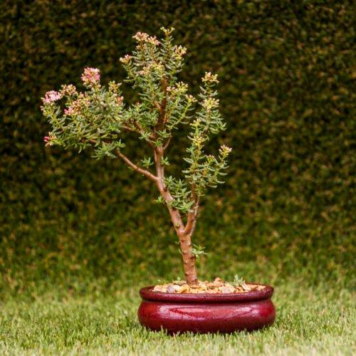 Get the best out of our bonsai