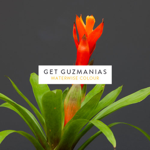 Get Guzmania's this season