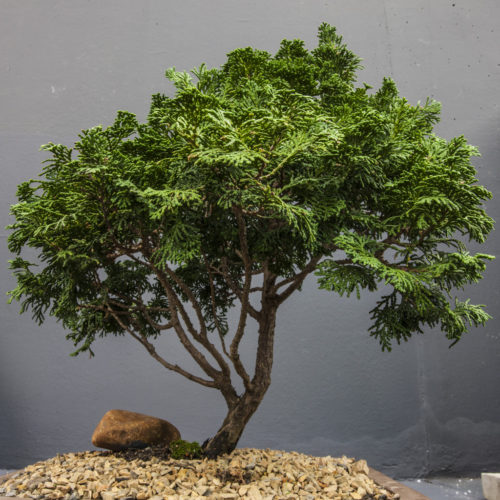 All About the Bonsai