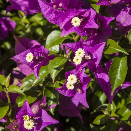 Marketing	Spotlight on bougainvillea