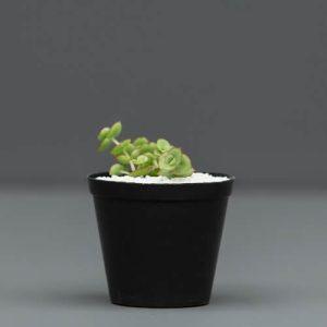 Mini 8cm Succulent