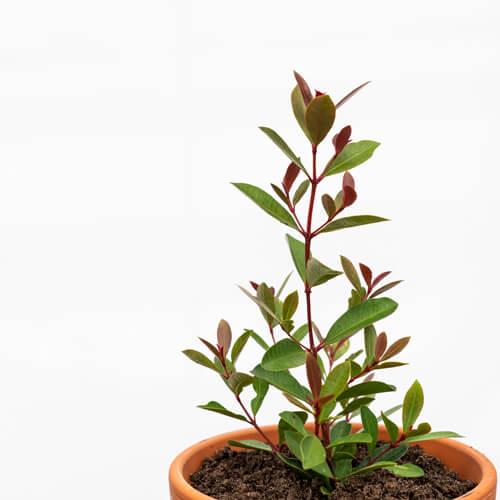 tree sapling care