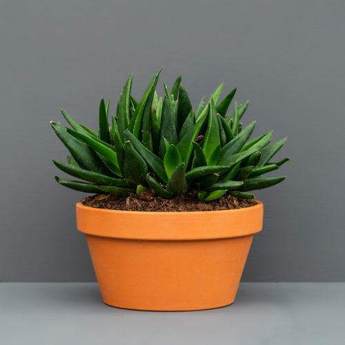 Aloe Pentagona