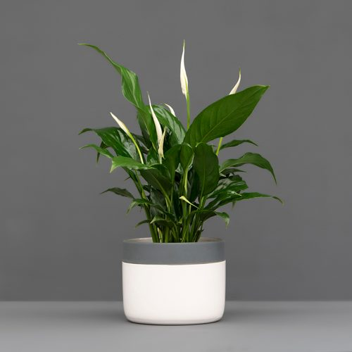 spathiphyllum in white and grey pot