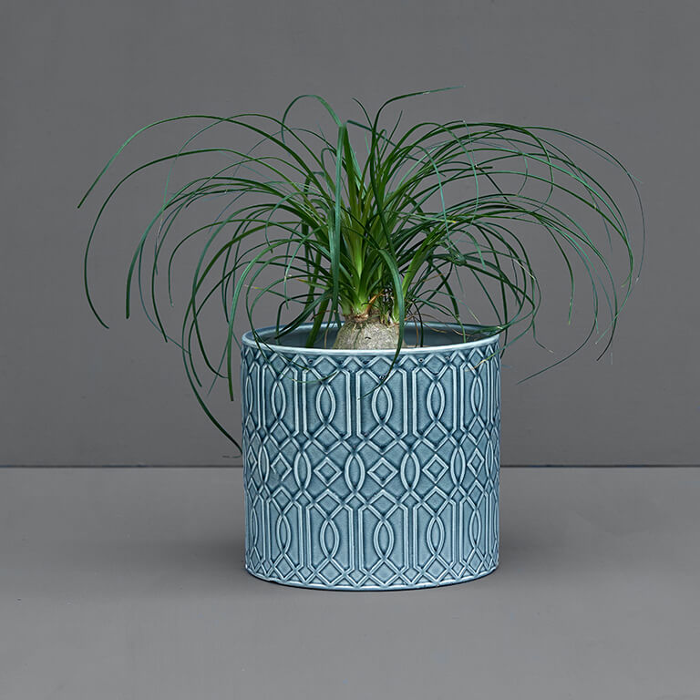 Potted Beaucarnea 20cm | Stodels Online Store