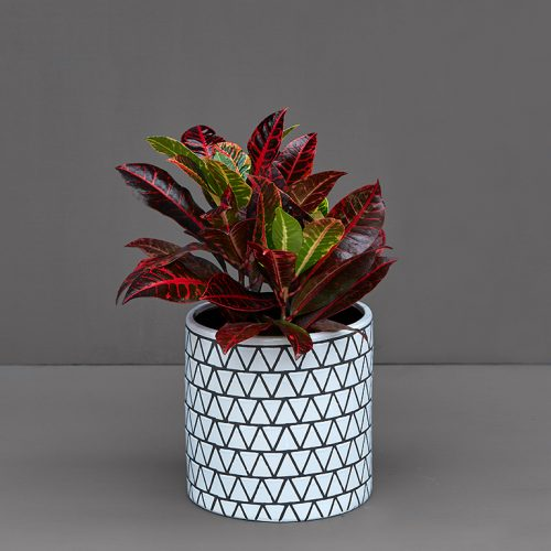 Potted Croton Mammy 20cm   Stodels Online Store