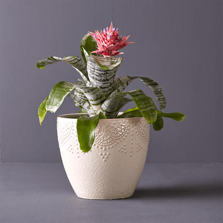 Potted Bromeliad Fasciata | Stodels Online Store