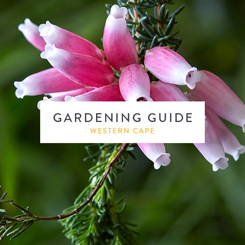 January 2019 Gardening Guide | Western Cape | Stodels Nursery