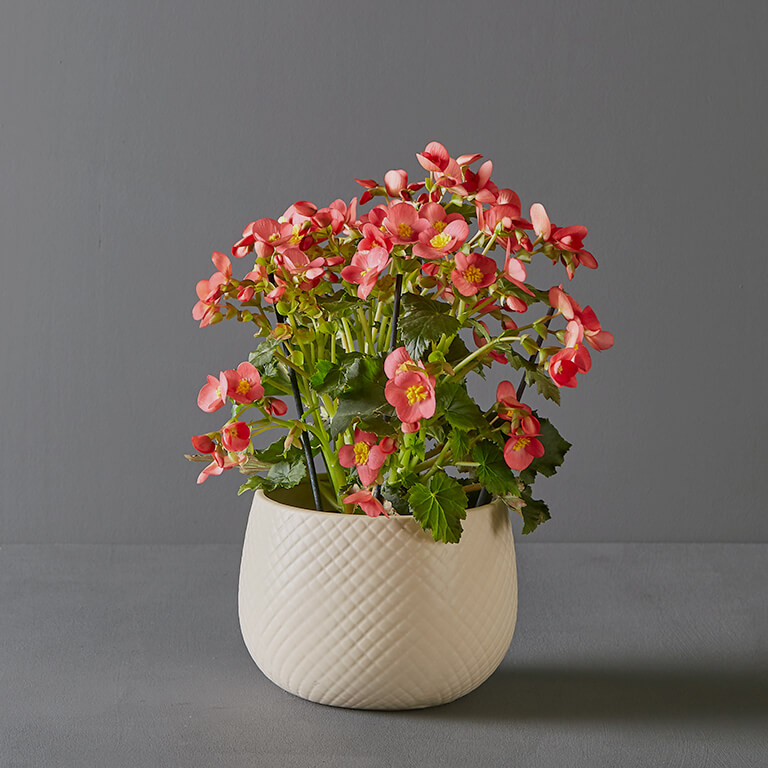 Begonia Elatior 14cm in White Diamond Pot Cover | Stodels Online Store