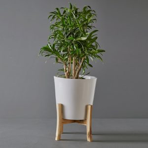 Dracaena Warneckii 25cm in White and Wood Pot Stand | Stodels Online Store