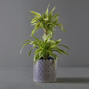 Dracaena Lemon Lime 20cm in Blue and White Pot Cover | Stodels Online Store