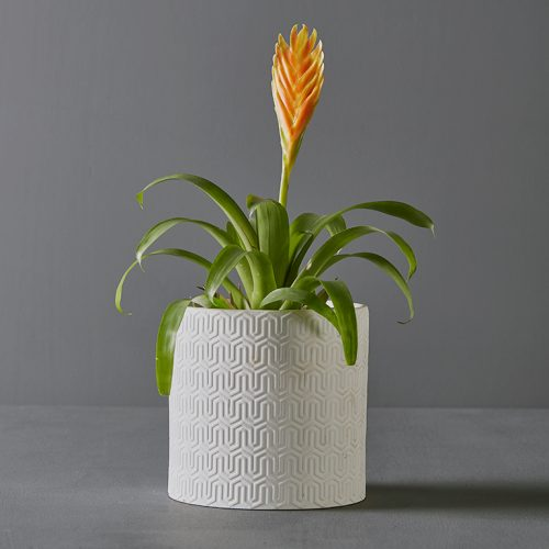 Bromeliad Vriesia in White Pot Cover | Stodels Online Store