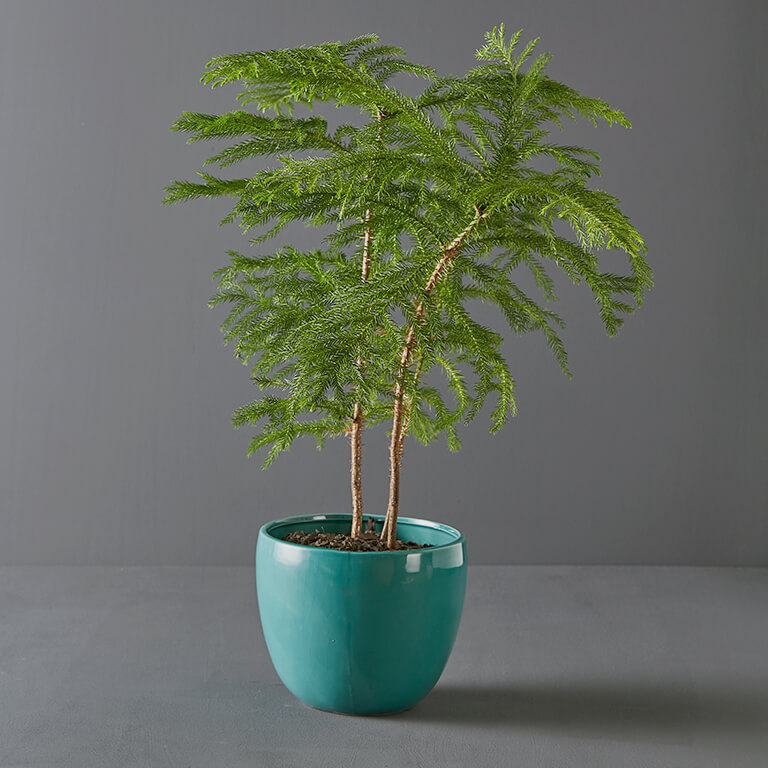 Araucaria 20cm in Turquoise Pot Cover | Stodels Online Store
