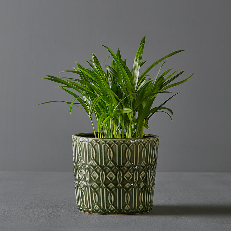 Bamboo Palm 15cm in Green Pot Cover | Stodels Online Store