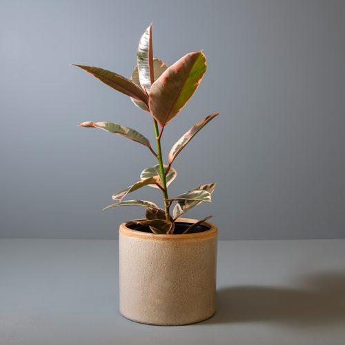 Ficus elastica 'Belize' 19cm in large grey pot | Stodels Online Store
