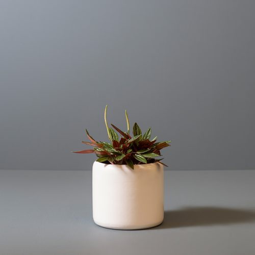 Peperomia Zorro 12cm in small white pot | Stodels Online Store