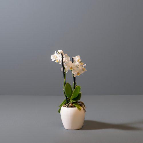 Micro 2-Stem Moth Orchid 6cm in white pot | Stodels Online Store
