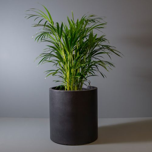 Bamboo palm 30cm in black pot | Stodels Online Store