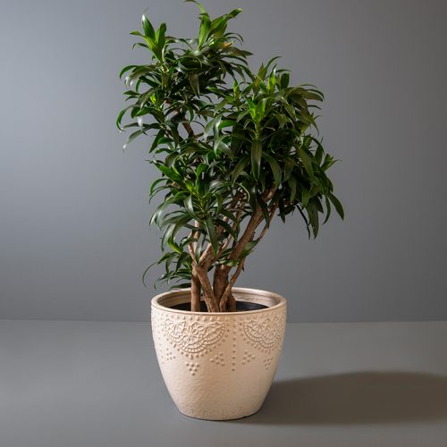 Dracaena reflexa 25cm in cream pot | Stodels Online Store