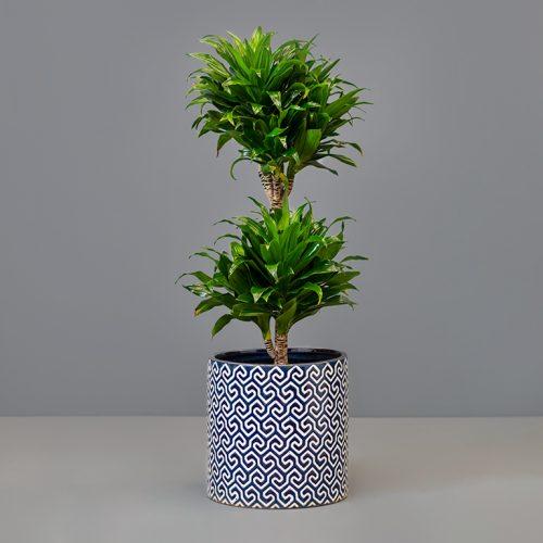 Dracaena compacta 20cm in large pot   Stodels Online Store
