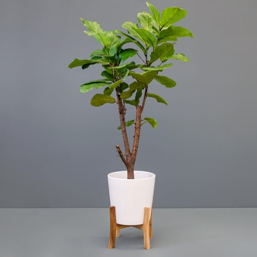 Ficus lyrata 23cm in jayda pot with stand   Stodels Online Store