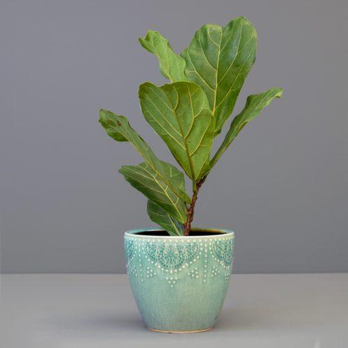 Ficus lyrata 19cm in medium green pot | Stodels Online Store