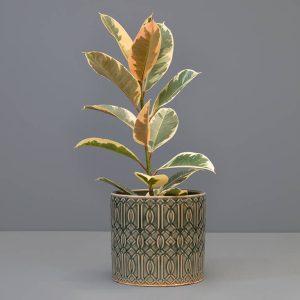 Ficus elastica 'Tineke' 19cm in large pot | Stodels Online Store