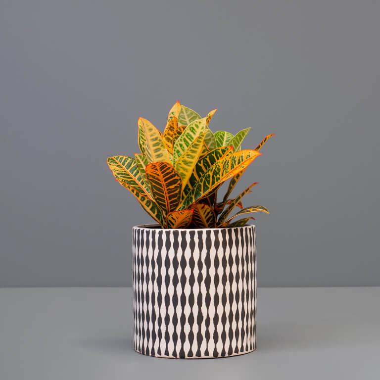 Croton 20cm in large pot   Stodels Online Store