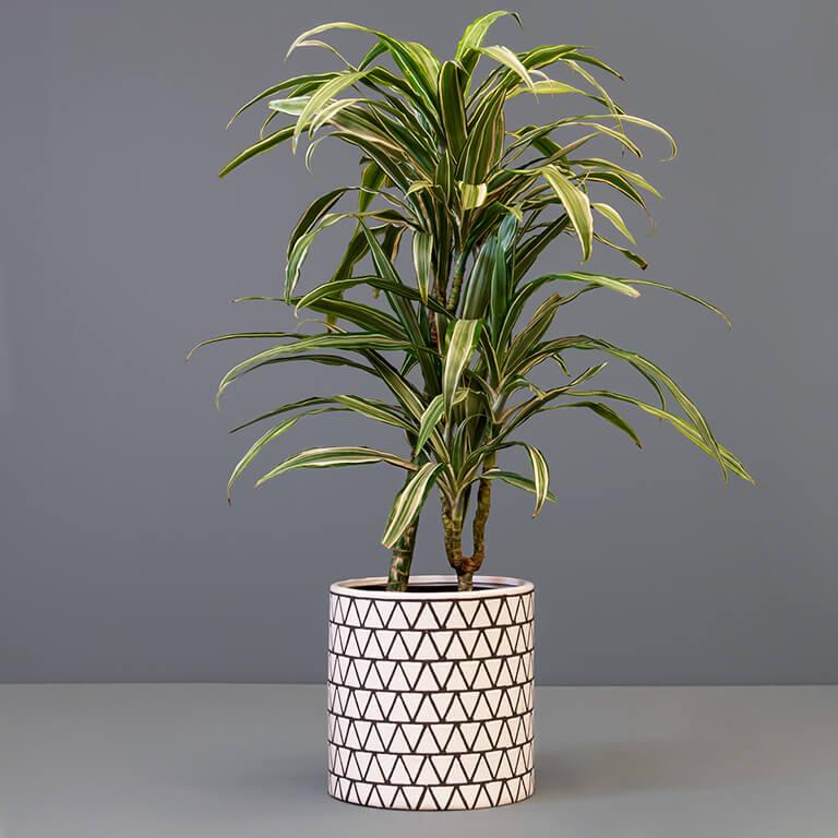 Dracaena warneckii 20cm in large pot
