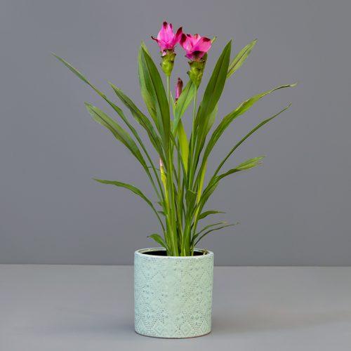 Curcuma 14cm in large green pot | Stodels Online Store