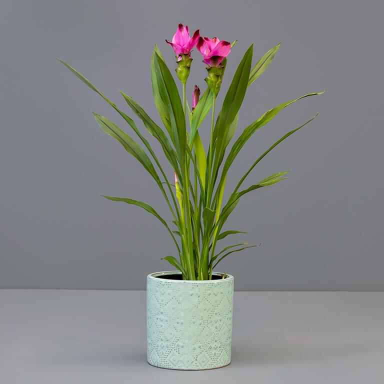 Curcuma 14cm in large green pot   Stodels Online Store