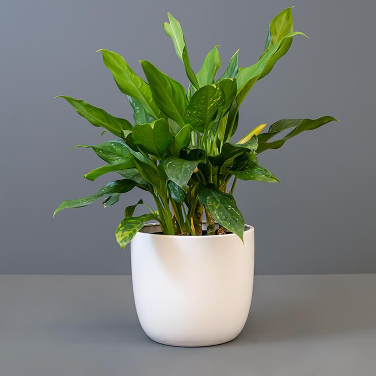 Aglaonema 25cm in White Pot Cover   Stodels Online Store