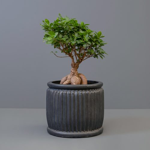 Ficus Ginseng 25cm in Black Pot Cover | Stodels Online Store