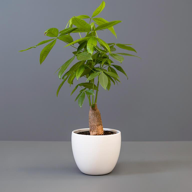 Pachira 16cm in White Pot Cover   Stodels Online Store