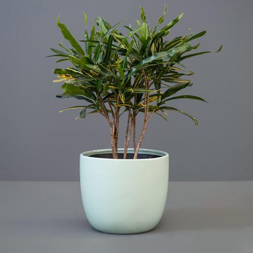 Croton Banana 20cm in Duck-Egg Blue Pot Cover | Stodels Online Store