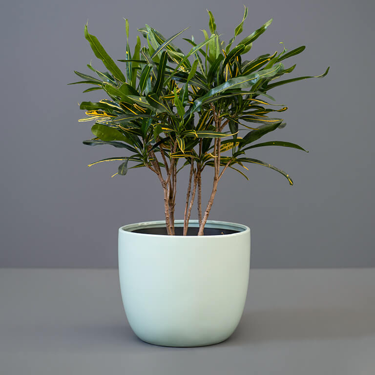 Croton Banana 20cm in Duck-Egg Blue Pot Cover   Stodels Online Store