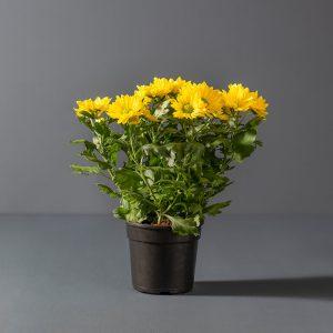 Chrysanthemum 14cm