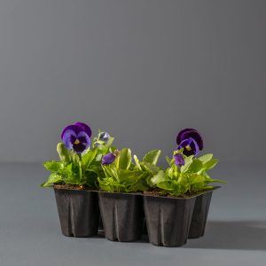 Pansy Seedlings 6-pack | Stodels Online Store